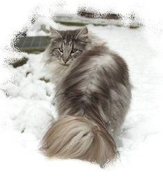 Norsk Skogkatt - Norwegian forest cat