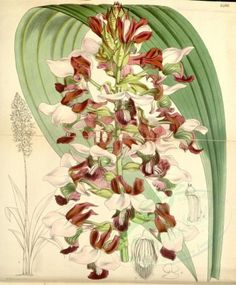 flowers-06601 - 5486-lissochilus horsfallii, Mr Horsfall's Lissochilus [3511x4240] books Victorian 1700s botany high nice commercial old beautiful ArtsCult.com paintings royalty masterpiece blooming 1800s Graphic vintage qulity clipart nature flower domain collection century collage fabric instant 300 dpi 1900s pack scan decoration transfer pages scrapbooking plants use download natural printable flora Pictorial lithographs floral art flowers Paper free craft Artscult 18th illustration…