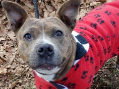 TO BE DESTROYED 12/31/13  Manhattan Center -P   My name is VINDALOO. My Animal ID # is A0988000.  I am a female br brindle and white staffordshire mix. The shelter thinks I am about 2 YEARS    I came in the shelter as a STRAY on 12/22/2013 from NY 10456, owner surrender reason stated was STRAY.    MOST RECENT MEDICAL INFORMATION AND WEIGHT  12/28/2013 Exam Type CAGE EXAM - Medical Rating is 3 C - MAJOR CONDITIONS , Behavior Rating is AVERAGE, Weight 43.6 LBS.