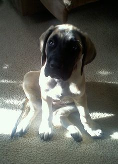 American Mastiff puppy Vayda from Orion Farms American Mastiff, Mastiff Puppies, Farms, True Love, Best Dogs, Dog Cat, Future, Animals, Real Love