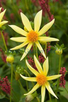 Dahlia Honka Yellow Dutch Top Quality Flower Bulbs - Dutch Garden World