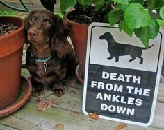 PetsLady's Pick: Funny Dangerous Dachshund Of The Day