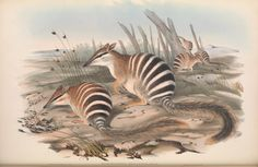 The mammals of Australia / by John Gould. The State Library of New South Wales in Sydney holds copies of the 3 volumes of this beautiful work. Additional images are available here. Thanks for showcasing this significant Australian work, Smithsonian libraries