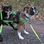 Two-Legged Puppy 'Duncan Lou Who' Receives Wheelchair