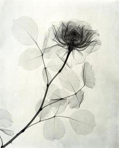 Доктор Дейн Л. Tasker (1872-1964) был главным рентгенологом в одной из больниц в Лос-Анджелесе. Его хобби была фотография. В 30-годы прошлого столетия доктор сделал серию рентгеновских снимков цветов. Потеряв свою плотность и наполненность цветом, цветы стали бестелесными и воздушными.