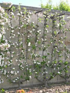 Espalier! Cover the fence line with fruit trees/brambles. My favorite when functional and pretty meet. (La Quintinye, Kitchen Garden of King Louis XIV, Versailles)