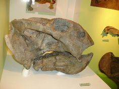 Skull of the big Late Permian dicynodont Daptocephalus in the Kitching Gallery at Wits in Johannesburg