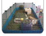Guinea Pig C&C cage graphic