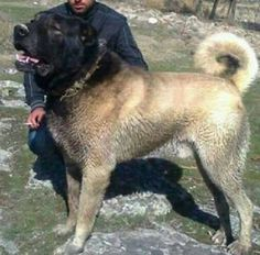 Image may contain: 1 person, outdoor and nature Huge Dogs, Giant Dogs, Kangal Dog, Big Dog Breeds, Cane Corso Dog, Shepherd Mix Dog, Real Dog, Hunting Dogs, Working Dogs