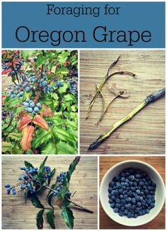 The Homestead Survival | Wild Food Foraging for Oregon Grape | http://thehomesteadsurvival.com