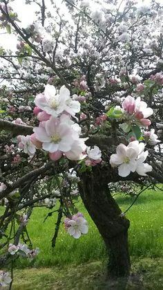 #Pommier en #fleurs à #Betting
