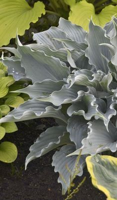 Shadowland 'Waterslide' is an easy to care for perennial that prefers the shade, and is hardy in zones These gorgeous blue, rippled leaves hold their color all season long. Lavender flowers appear in the summer, and these blooms will bring the hummin Shade Garden Plants, Hosta Plants, Garden Shrubs, Shade Perennials, Foliage Plants, Landscaping Plants, Landscaping Ideas, Landscape Arquitecture, Garden Care