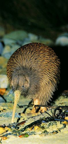 Tokoeka kiwi are found on Stewart Island and can be seen at night as well as during the day. The latter is unique for Stewart Island and may be due to the long day light hours in southern New Zealand, and the relative lack of predation/human activity. Kiwi Bird, Nature Sauvage, New Zealand North, New Zealand Landscape, Maori Designs, New Zealand Houses, Kiwiana, Circle Of Life, Homeland