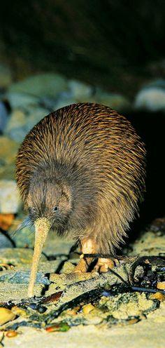 Kiwi - Aotearoa