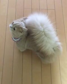Cute Animals To Be For Halloween my How To Draw Really Cute Baby Animals among Adorable Birman Kittens For Sale Cute Cats And Kittens, Baby Cats, Kittens Cutest, Birman Kittens, Kittens Playing, Pretty Cats, Beautiful Cats, Animals Beautiful, Pretty Kitty