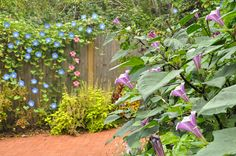 "Here is the fence I had some of the Morning Glories growing on. In the foreground is Datura ""Purple Ballerina"""