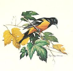 Roger ToryPeterson - Baltimore Oriole
