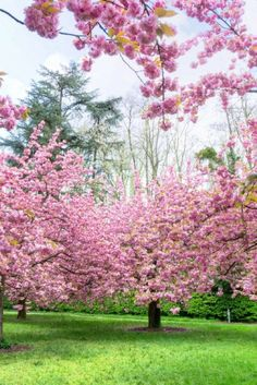 sceaux in spring cherry blossom