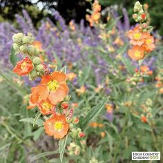 """36-42"""" tall x 24"""" wide (seed propagated). Orange Globe Mallow is a welcome sight in midsummer when the heat has driven most other flowers out of bloom. Sphaeralcea's long wands of orange flowers resemble miniature hollyhocks. A deep-rooted wildflower native to the western U.S., Orange Globe Mallow is not the least bit picky about its soil and thrives in heavy clay. Cut last year's stems back to ground level each spring for best appearance."""