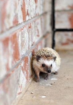 Hedgehog #HelloBrown
