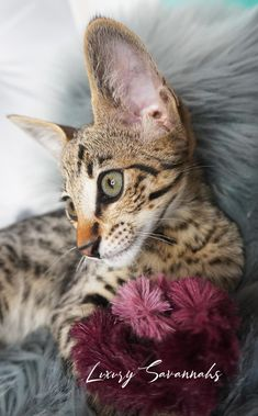 beautiful savannah kitten with green eyes Savannah Kitten, Savannah Chat, Kittens, Cats, Green Eyes, Animals, Beautiful, Cute Kittens, Gatos
