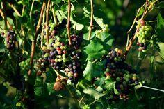 Pinot Noir Grapes #wine