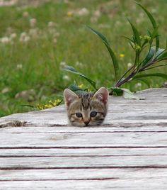 Finny 'Peeping-Tom-Cat' Kitten