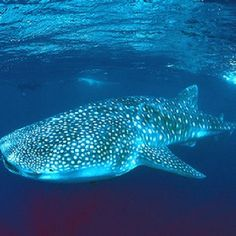 To swim with the Whale Sharks  ✅ Isla Mujeres 2014 #btbe #loveandsmiley