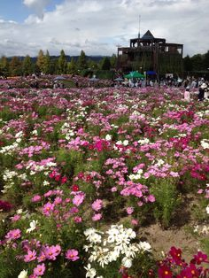Bihoku hill side park(Cosmos field)