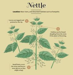 Foraging for Food: Nettle