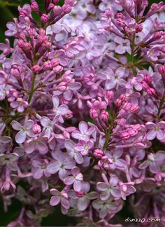 lilacs- a beautiful and fragrant spring blossom. You can grow these! http://livedan330.com/2016/05/11/lilacs-even-can-grow/