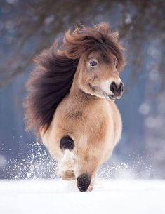 "Minishetty stallion ""Eagle v. Kosterhof"" in… – Stallone Minishetty ""Eagle v. Kosterhof ""in … – Poney Miniature, Miniature Ponies, Fluffy Animals, Baby Animals, Cute Animals, Fluffy Pets, Australian Shepherds, Snow Photography, Animal Photography"
