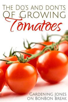 13 Do's and Don'ts of Growing Tomatoes by Gardening Jones - we love growing tomatoes and I learned a thing or two with these gardening tips!