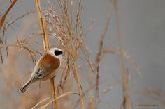 Buidelmees - Vogels - Buidelmees