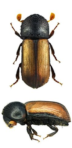 Trypodendron domesticum