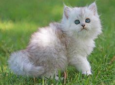 Australian Tiffanie kitten...want one so much!