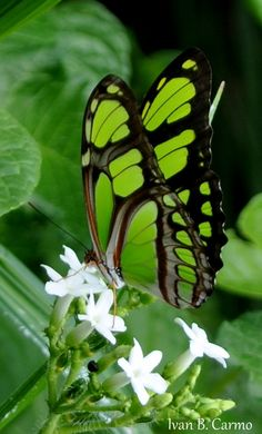 Looks like a Malachite butterfly.  Rare in South Florida, we had a visitation three days after a hurricane--felt like something of a miracle when most green was blown away.