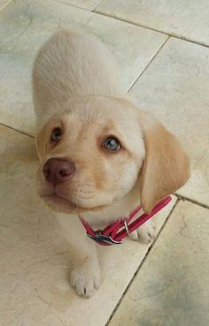 This is Jazz our gorgeous dudley Labrador puppy #labradorretriever