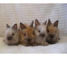 Cute Bunnies, lionhead rabbits.