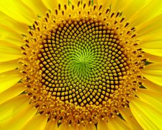 Mathematically perfect sunflower :-)