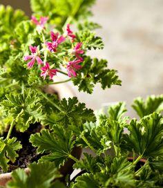 Pelargonien hoito | Kotivinkki