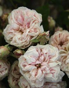 Blush Roses | Bridal Bouquets | The Bridal Atelier | www.thebridalatelier.com.au