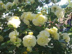 97849678_o.jpg (2048×1536)Souvenir de Marcel Proust Delbard rose