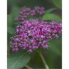 Spiraea 'Double Play Artist' - Drought Tolerant Shrubs - Shrubs - Avant Gardens Nursery & Design