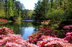 Azaleas | Peachtree City, Ga. Will have to figure out where this is in the city. It looks beautiful.