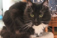 This beautiful lady, Bebe, is looking for a new, long-term home. Long-haired, black and white cat, enormous whiskers (as you can see), loves to be petted and loves to sleep on the bed. What she doesn't love? Living with other cats. It's time for her to find a home where she can be the queen of the house. She'll be so happy to find a home just like that. Doesn't do well with dogs or kids. Ideal home would be with a single or joint household with no dogs, cats, or kids.