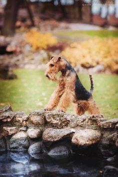 Welsh Terrier. By Grishakova.