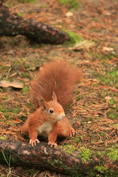 Red Squirrel - Formby Point