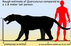 """Quercylurus major is a member of a family of """"false sabre-tooths"""", Nimravidae. It was possibly the largest nimravid ever known, as its fossils suggest it was about the size of a modern-day brown bear. It was very muscular, walked on plantigrade (flat-footed). So far, there is only one described species within this genus."""