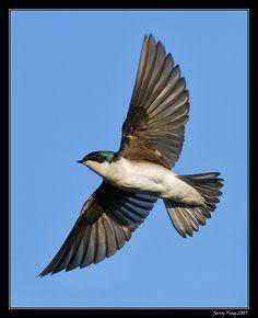 Tree swallow in flight - blunt tail, light underside (seen May 2013, Lake Kaweah)